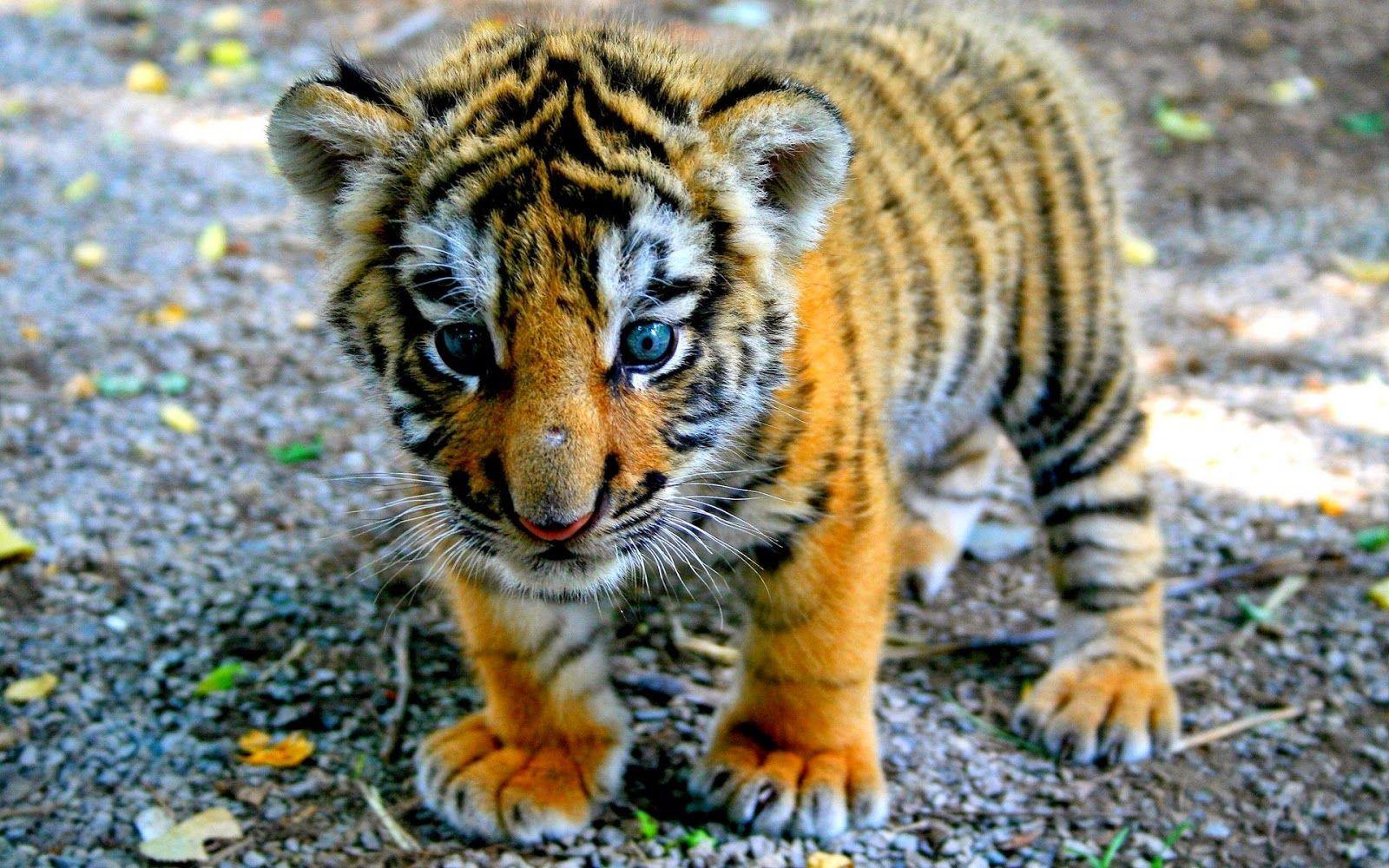 tiger [taɪɡə] – тигр