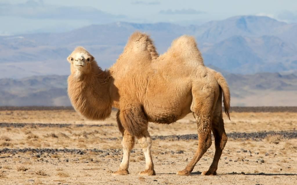 camel [kæm(ə)l] - верблюд