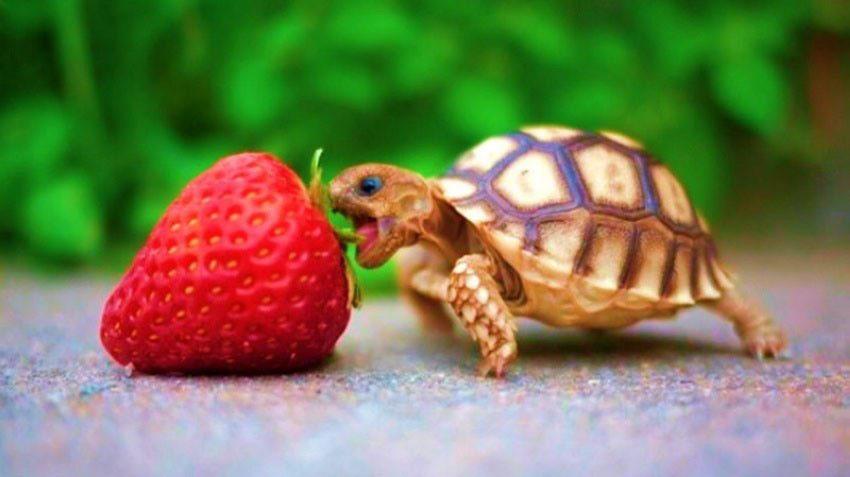 turtle [tərtl]- черепаха