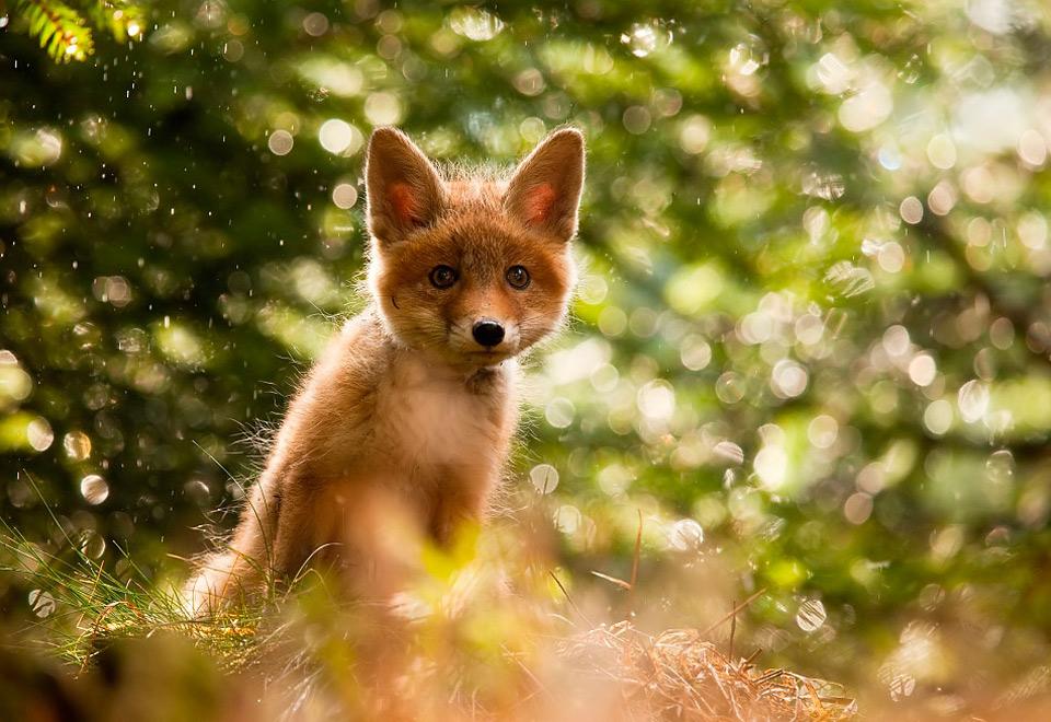 a fox [fɒks] – лиса